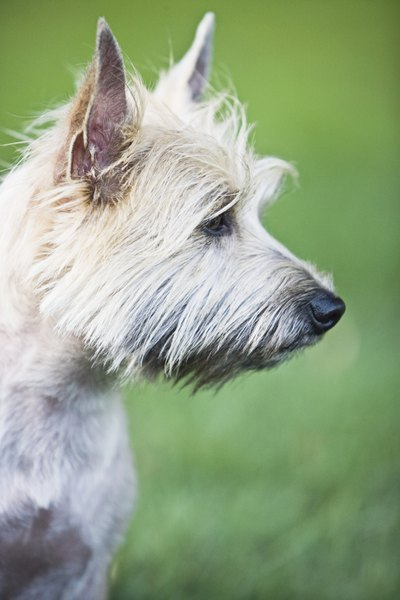 Originally, cairn terriers were bred for hunting.