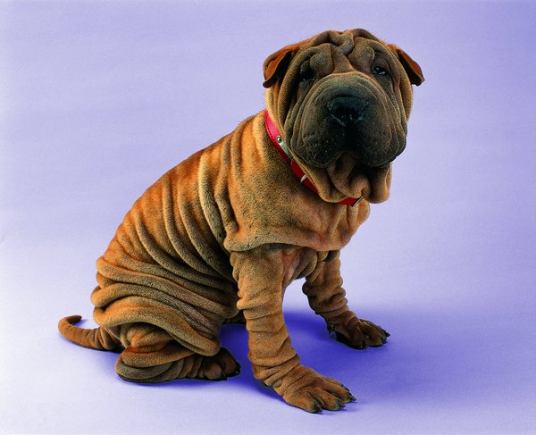 If you wash your shar-pei's wrinkles, they should be thoroughly dried to prevent infection.