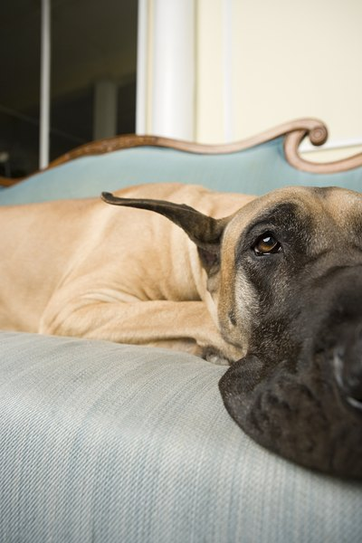 Do Great Danes Make Good Apartment Dogs?   Dog Care ...