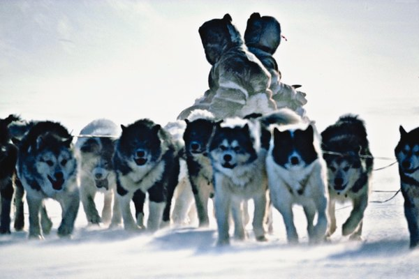 Husky is synonymous with sled dog, even though not every sled dog is a husky.