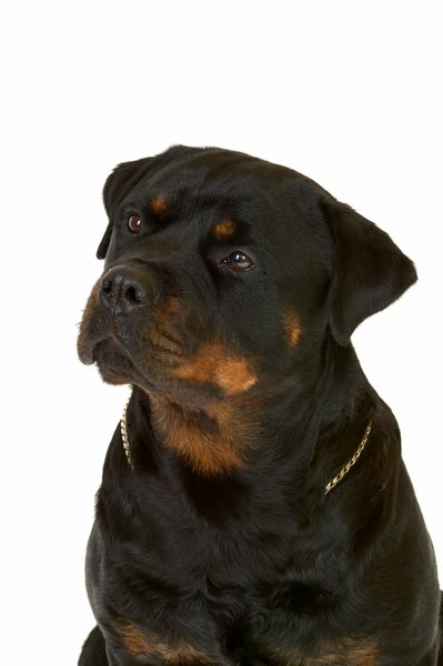 Rottweilers can be dedicated canine buddies to their families.