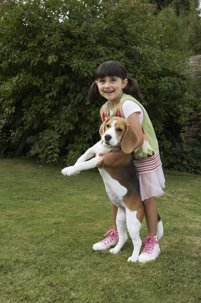 Beagles are affectionate dogs who respond well to small children.