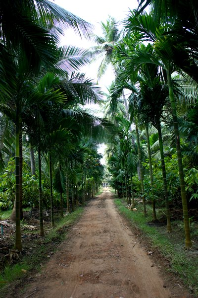 Coconut Palm Tree Information | Home Guides | Sf Gate