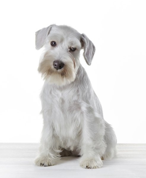White miniature schnauzers do not conform to AKC breed specifications.