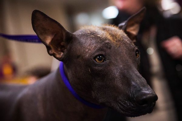 The Xoloitzcuintli is a Mexican national treasure.