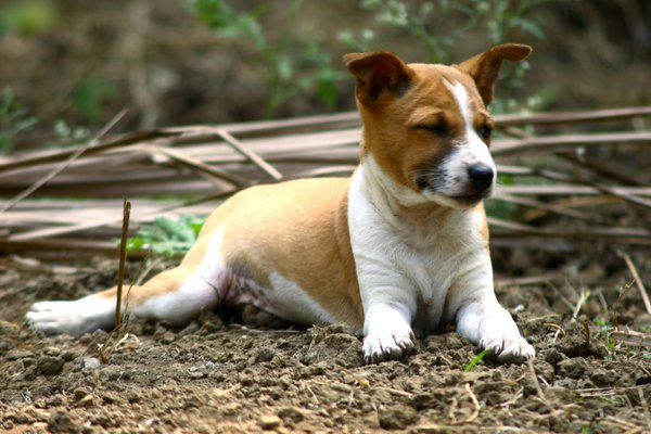 Puppies, with immature immune systems, are more vulnerable to mites than healthy older dogs.