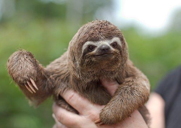 Sloth Animal Face