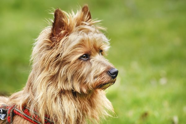 Australian terriers have open, friendly features.