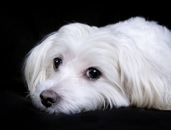 maltese dog. when full-grown, the maltese should weigh no more than 7 pounds. dog