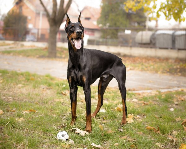 The Doberman pinscher was first bred as a companion to tax collector Louis Dobermann.