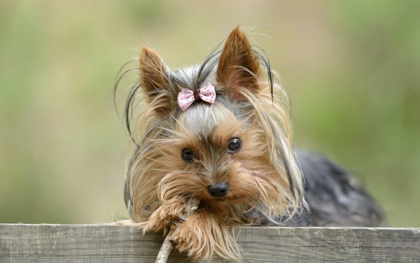 Yorkshire terriers rarely have more than five puppies in a litter.