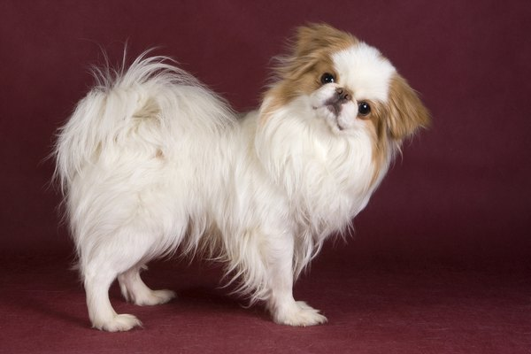 The Japanese chin is also known as the Japanese spaniel.