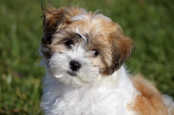 Who can resist that Havanese face?