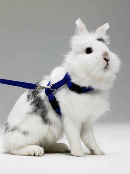 Rabbit Harness vs Cat Harness  PetsHubcom