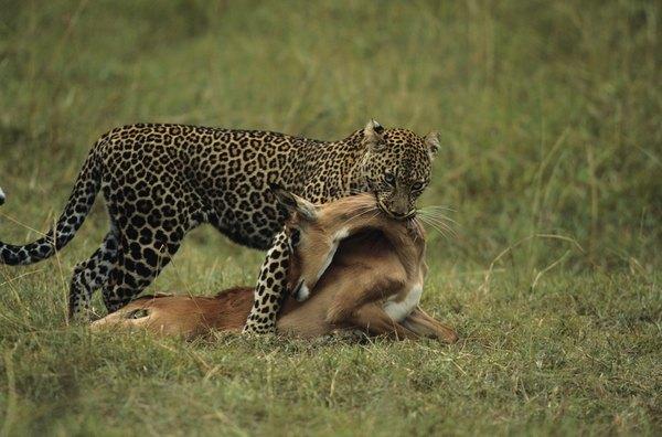 "predator prey relationships coevolution versus escalation In this post we examine how a predator / prey relationship shapes the evolution of both species evolution basics: coevolution and predator / prey ""arms races."