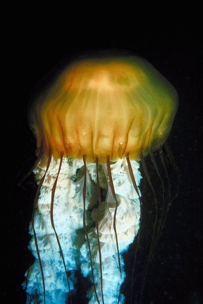 What are the fuzzy things on a jellyfish animals for Can i have a jellyfish as a pet