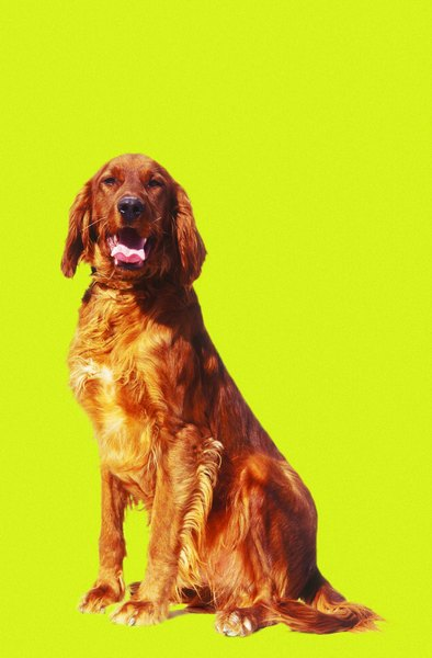 Irish setters are among many breeds predisposed to hypothyroidism.