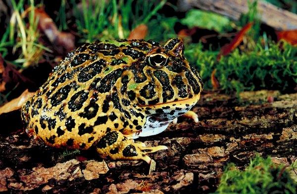 Pet frogs species - photo#30