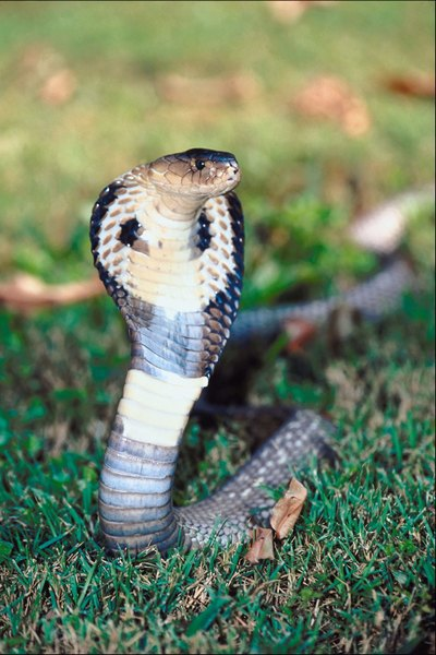 Black Cobra Snake Information | Animals - mom.me