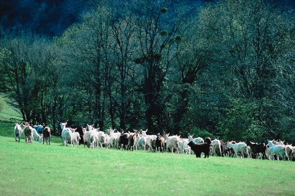 Shepherds bred to protect livestock tend to accept goats without aggression.