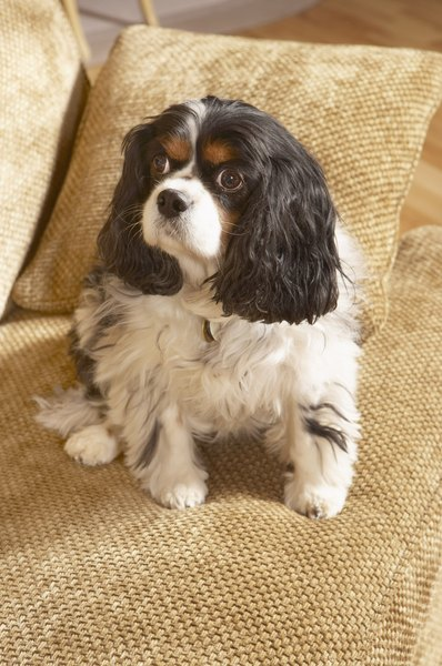 "The Cavalier King Charles spaniel puts the ""lier"" in cockalier."