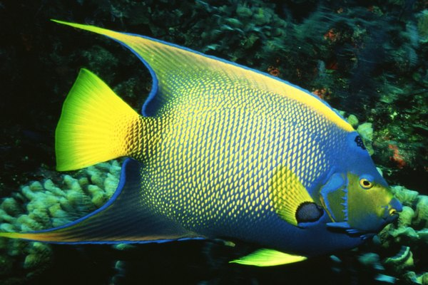 Angelfish characteristics animals for Queen angel fish