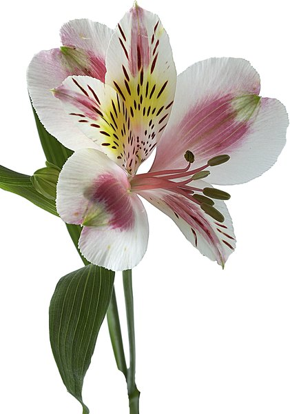 alstroemeria propagation home guides sf gate. Black Bedroom Furniture Sets. Home Design Ideas