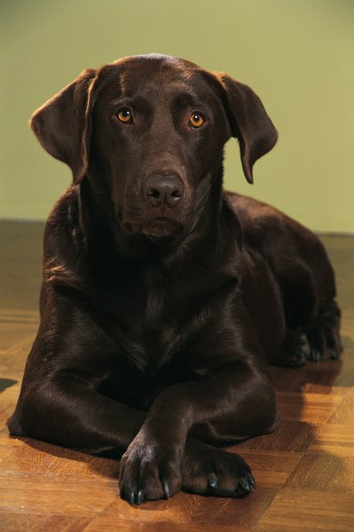 Does A Chocolate Labrador Have White Hair Pets