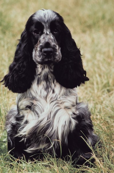 Spaniels today, such as this English cocker spaniel, are great pets, but they still enjoy outdoor activities.