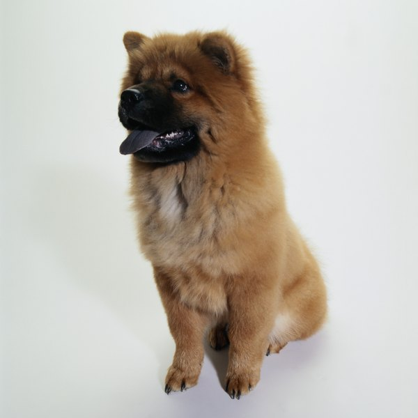 Chow chows famously have all-blue tongues.