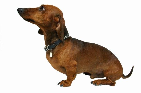 Long Dogs Look Like Dachshunds