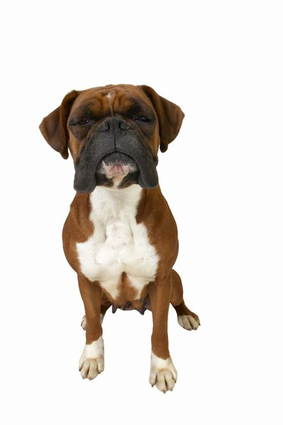 Boxers are one breed with an increased risk of developing Cushing's.