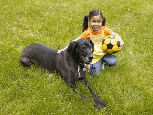 The protective nature of a Great Dane makes him an excellent family dog.