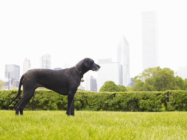 Dogs with deep, narrow chests like the Great Dane are at high risk for bloat.