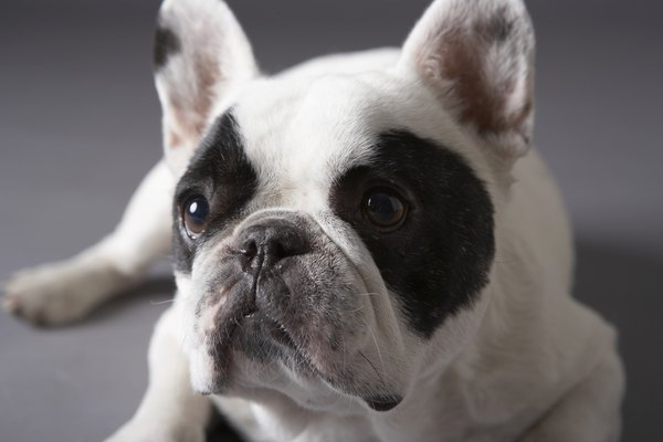 Short-nosed breeds like the French bulldog are prone to anesthesia complications.
