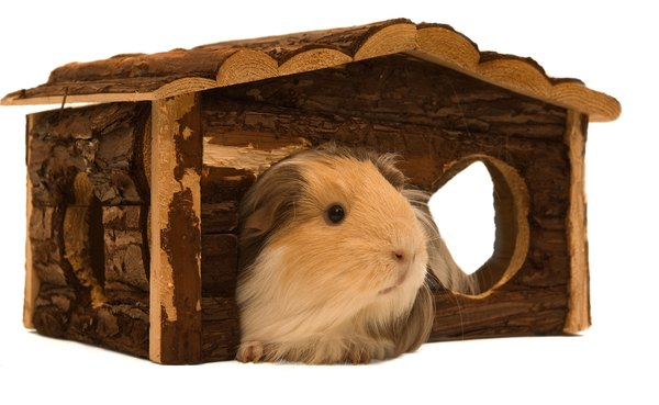 What woods are safe when building guinea pig houses for How to build a guinea pig house