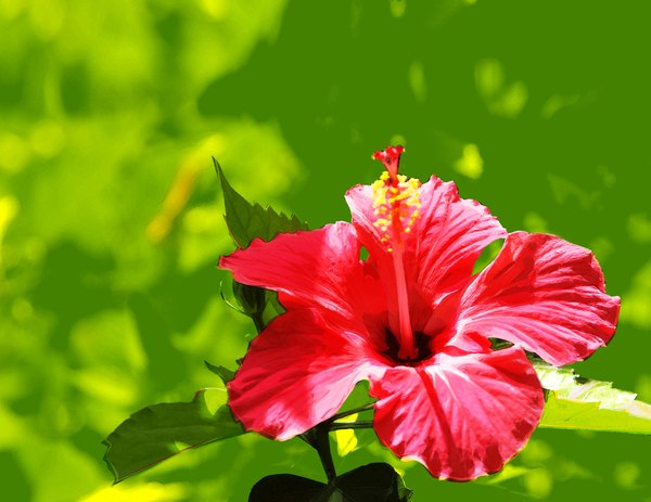 With a few exceptions, most hibiscus varieties are safe for your dog.