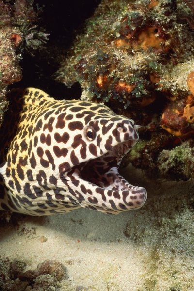 What do saltwater aquarium eels eat animals for Types of saltwater fish to eat