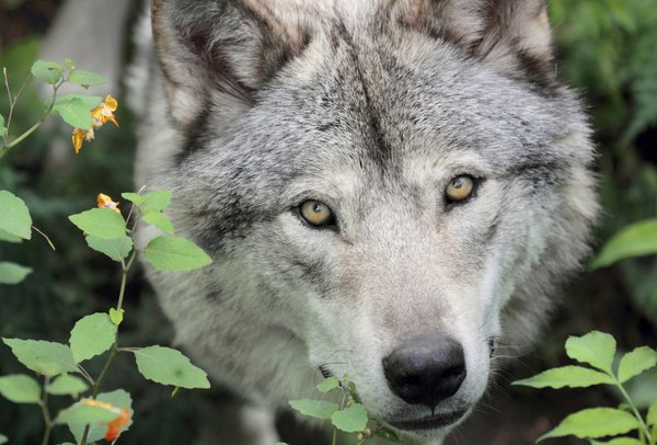 He may look like a big dog, but a gray wolf is a wolf.