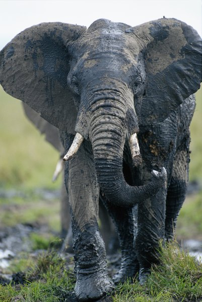 an examination and description of the african elephant This incredible animal can eat up to 400 pounds of food a day lean more interesting african elephant facts, including information on its diet, description, behavior, habitat and more.