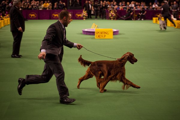 The best show dogs move happily and freely in the ring.