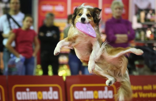 Australian shepherds thrive on staying active.