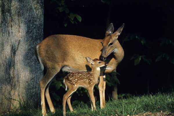 What Kind of Deer Are in Pennsylvania? | Animals - mom.me