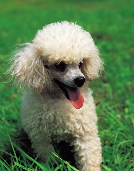 Poodles make up half of the pomapoo genetic makeup.