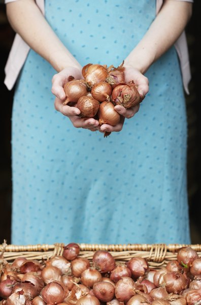 Shallots, like all members of the onion family, are toxic to dogs.