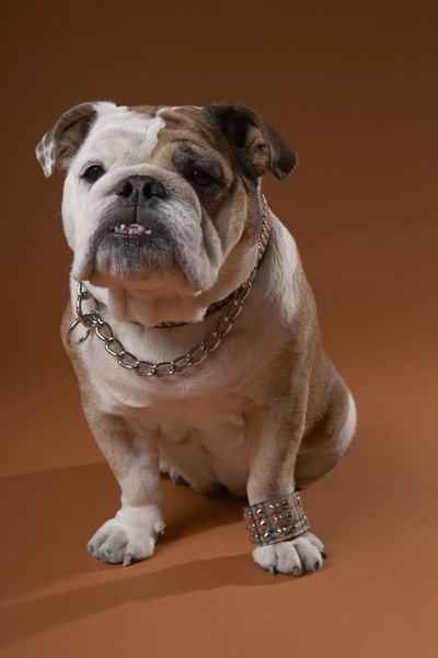 The bulldog is brachycephalic.