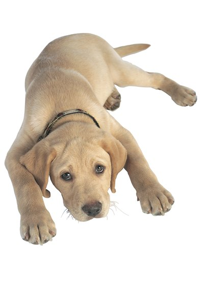 The Labrador retriever is a popular AKC dog breed.