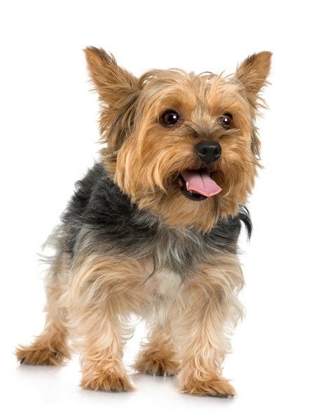How To Get A Silky Terrier S Hair To Grow Pets