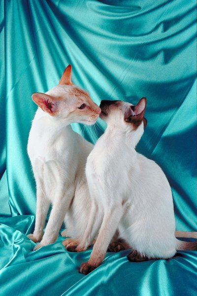 balinese cats vs  siamese cats