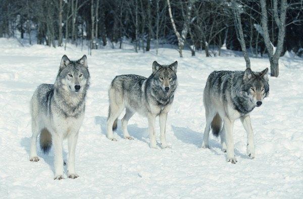 Pack Of Wolves Hunting Deer